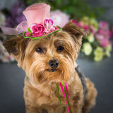 Yorkie wearing flowered top hat. Yorkshire Terrier wearing pink flowered hat with floral background stock photo