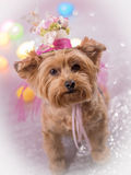 Yorkie Dog wearing her Easter Hat. Cute Yorkie wearing top hat for easter decorated with butterflies and flowers royalty free stock photography