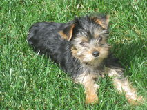 Yorkie Welpe Stockfotos