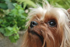 Yorkie. What do you got there Royalty Free Stock Photography