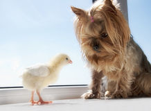 Yorkie with yellow chick Royalty Free Stock Image