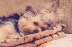 Yorkie Yorkshire Terrier dog Royalty Free Stock Image