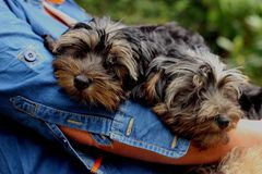 Yorkiepoo puppies Stock Photo