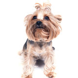 Yorkies Stockbilder