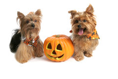 Yorkies At Halloween royalty free stock image