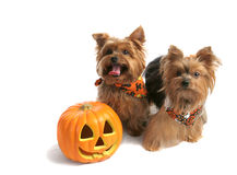 Yorkies Trick Or Treat. Two adorable yorkie siblings dressed up to trick or treat on halloween.  Isolated with room for text Stock Photos