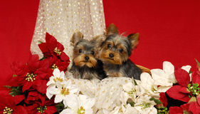 Yorkies und Poinsettias Stockfotografie