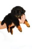 Yorkipoo Welpen-Hund in der Hand Lizenzfreies Stockfoto