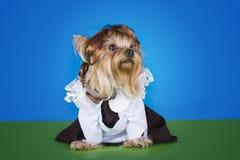 Yorkshersky Terrier in dress schoolgirl Royalty Free Stock Image