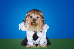Yorkshersky Terrier in dress schoolgirl Royalty Free Stock Photo