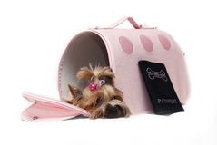 Yorkshir terrier in the bag Royalty Free Stock Image