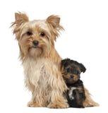 Yorkshire żeński Terier i szczeniaka jej obsiadanie zdjęcia royalty free