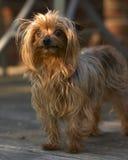 Yorkshire. Puppy royalty free stock photo