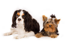 Yorkshire  and cavalier king charles spaniel - dog. Photo of young yorkshire terrier and cavalier king charles spaniel dog Stock Photography