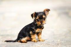 Yorkshire Chihuahua Puppy Stock Photo
