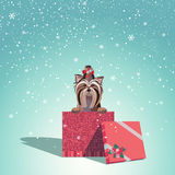Yorkshire Christmas Gift. Adorable dog wearing a bow with jingle bells sits in Christmas gift box Royalty Free Stock Photos
