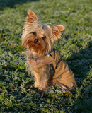 Yorkshire and coat. Beautiful litlle purebred yorkshire terrier: cute family dog in winter with a coat Royalty Free Stock Photos
