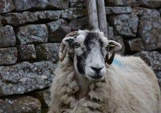 Yorkshire dalar med en tacka med krullade horn royaltyfri foto