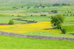 Yorkshire Dales Agricultural Landscape. English agricultural landscape in the Yorkshire Dales with a river, sheep, traditional stone walls and a rape crop Royalty Free Stock Photo