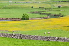 Yorkshire Dales Agricultural Landscape. English agricultural landscape in the Yorkshire Dales with a river, sheep, traditional stone walls and a rape crop Stock Images