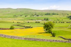 Yorkshire Dales Agricultural Landscape. English agricultural landscape in the Yorkshire Dales with a river, sheep, traditional stone walls and a rape crop Stock Photo