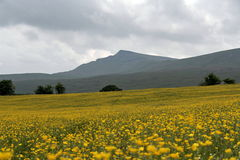 Yorkshire Dales, Buttercup Field royalty free stock photography