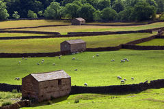Yorkshire Dales Farmland - England. Sheep grazing in a field surrounded by the traditional dry-stone walls and stone barns of the Yorkshire Dales in north east Royalty Free Stock Photography