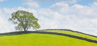 Yorkshire Dales landscape. Yorkshire Dales panoramic landscape with a tree, sheep and stone walls Royalty Free Stock Image