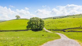 Yorkshire Dales Panoramic Landscape. Yorkshire Dales landscape with a tree, sheep and traditional stone walls Royalty Free Stock Photography