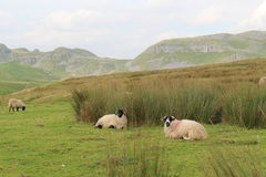 Yorkshire Dales Landscape. A view of the Yorkshire Dales limestone hill with sheep grazing amongst marsh grasses in the foreground Royalty Free Stock Image