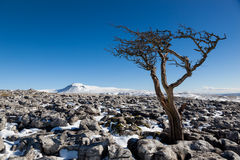 Knarled Hawthorn tree looking across to Ingleborough. Yorkshire Dales National Park, UK on a Winter's day. Hawthorn tree growing out the limestone pavement with Stock Photo