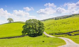 Yorkshire Dales Panoramic Landscape. Yorkshire Dales landscape with a tree, sheep and stone walls Royalty Free Stock Images