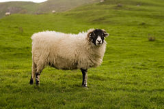 Yorkshire Dales Sheep Stock Photography