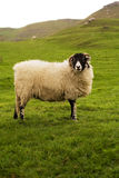 Yorkshire Dales Sheep Royalty Free Stock Image