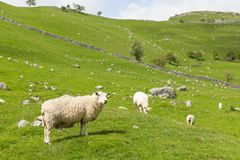 Yorkshire Dales view of sheep in English countryside. Sheep and dry stone wall in Yorkshire dales National Park England UK Stock Photo