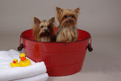 Yorkshire dog bath time. Two yorkshire terrier dogs in a tub Stock Image