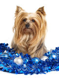 Yorkshire dog christmas Stock Photography
