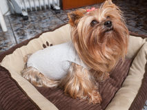 Yorkshire dog recovering after surgery. Stock Photos