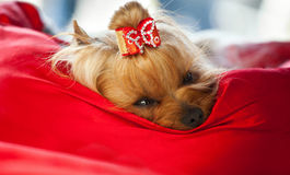 Yorkshire dog relaxing after beauty treatment. Yorkshire terrier dog relaxing in his bed after beauty treatment stock photos