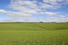 Yorkshire-Erbsenernten Stockfoto