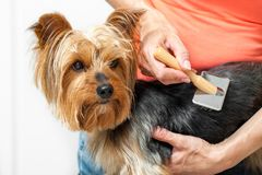 Yorkshire getting brushed. Royalty Free Stock Images