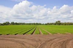 Yorkshire-Karottenfeld Lizenzfreie Stockfotos