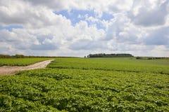 Yorkshire-Kartoffelernte Lizenzfreie Stockbilder