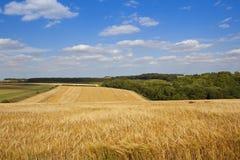 Yorkshire kornfält Arkivbilder
