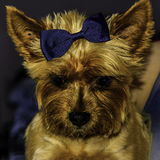 Yorkshire Lady. Cute dog with a blue bow on her head Royalty Free Stock Image