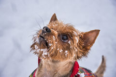 Yorkshire Lady. Cute dog playing in the snow with flakes Stock Images