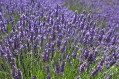 Lavender in bloom in the summer, UK. Yorkshire Lavender Farm. Purple lavender in flower, full frame, close up royalty free stock images