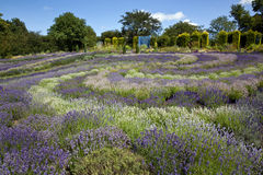 Yorkshire Lavender - United Kingdom. The tourist attraction of the 'Yorkshire Lavender Farm and Gardens' near Malton in North Yorkshire in the United Kingdom Royalty Free Stock Photo