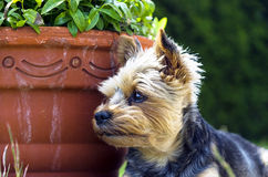 Yorkshire lying in a flower pot Royalty Free Stock Images