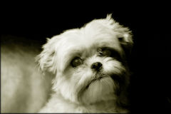 Yorkshire Maltese Dog Portrait Stock Photo